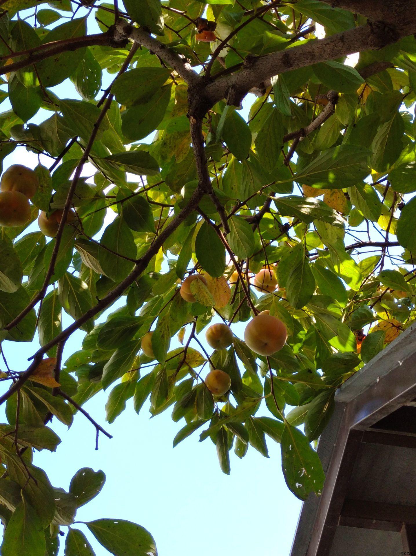 假期结束前,姑妈家做客,采柿子~感受收获季节的喜悦